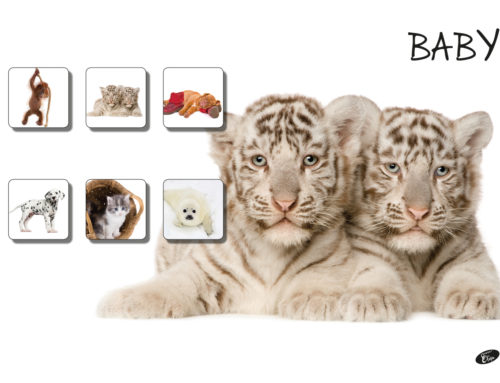 Baby – white Tigers