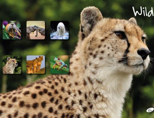 Wild – Gepard